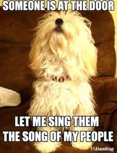 :) cute little havanese! havahug havanese www Havanese Grooming, Havanese Puppies, Cute Puppies, Dogs And Puppies, Maltese Dogs, Chihuahua Dogs, Dog Grooming, Animals And Pets, Funny Animals