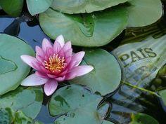 Autor: Juan J. Díaz Título: Estanque para la lectura Comentario: Un país que lee es culto. Si ademas lo hace cerca de un estanque en el jardín… es especial. - http://www.floresyplantas.net/picafoto-con-las-flores-y-plantas/