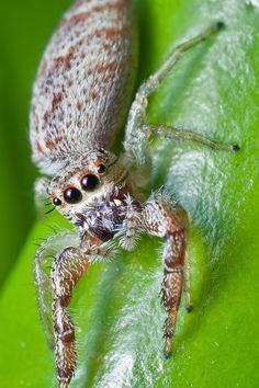Jumping SPIDER Photo Beautiful Monstrosities - Arthropods close up - Photographer: Nicholas