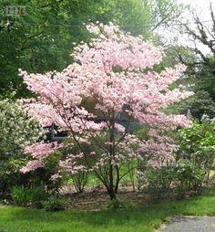 Fast growing shade trees and ornamental trees for sale. We are a North Carolina Wholesale Nursery and grow Crabapple trees for sale and Dogwood Trees for sale. Plants, Garden Trees, Shade Trees, Pink Dogwood Tree, Backyard Landscaping, Landscape Design, Dogwood Trees, Trees To Plant, Trees For Front Yard