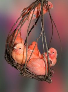 Pink birds in their nest
