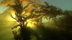 Kelp Forest | Science | Video | PBS LearningMedia Forest Ecosystem, Kelp Forest, Science Videos, Science Classroom, Environmental Science, Science Projects, Forests, Habitats, Underwater