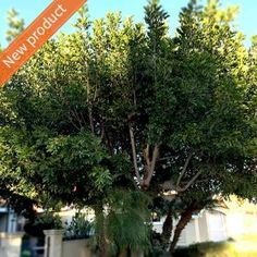 Cupaniopsis anacardioides 'Tuckeroo' Beautiful rounded street/feature tree. has non invasive roots and is native to Australia. It's hardy, tolerates frost and drought once established and is suited to all soil types, even clay!  Sunny/part shade position is ideal. Plant in a free draining soil rich in organic matter. CARE: Mulch and water well until the plant is established, usually around 12 weeks. Prune regularly to maintain a dense rounded growth habit  HEIGHT & WIDTH: 5-8m H x 5-7m W.