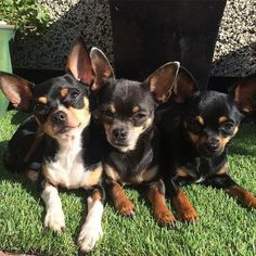 Just catching up on our tan's loving the sun todayhave a lovely day everyone #chihuahua #chi #chihuahualife #chihuahualove #chihuahuasofinstagram #dogsofinstagram #smalldogs #ilovemychihuahuas #pets #instachi #instadog #chihuahuaworld #lovingthesun #cute #petsofinstagram #dogphoto  Photo By: chihuahua_yuki_cuties  http://bit.ly/teacupdogshq