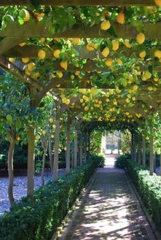 Lemon arbor...imagine how this smells as you are walking underneath it's shade.
