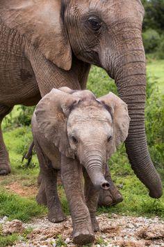 Little Addo Elephant Calf