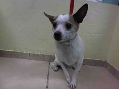 Brooklyn Center MACK - A1025700 MALE, WHITE / BROWN, CHIHUAHUA SH MIX, 6 yrs STRAY - ONHOLDHERE, HOLD FOR LICENSED Reason STRAY Intake condition EXAM REQ Intake Date 01/17/2015 https://www.facebook.com/Urgentdeathrowdogs/photos/pb.152876678058553.-2207520000.1421613907./945966358749577/?type=3&theater