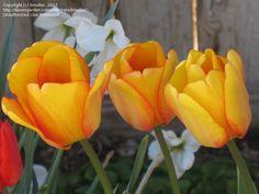 tulip darwin hybrid blushing apeldoorn