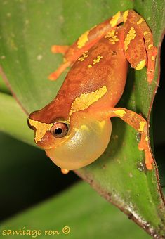 Dendropsophus sarayacuensis calling male from Yasuni National Park by Santiago Ron