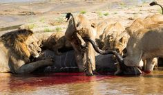The lions jostle for position at the kill - Gary Hill Gary Hill, Lions, Pride, Elephant, Animals, Lion, Animales, Animaux, Elephants