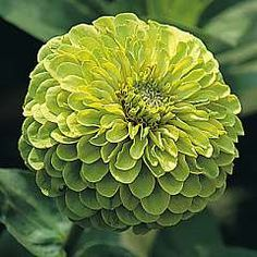green envy zinnia