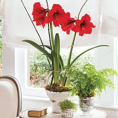 Amaryllis Bulb Planting Tips - Southern Living Plant Amaryllis bulbs so they will bloom during the holiday season and plant them in your garden after any threat of frost. Check my Plants and Flowers board for more information. Growing Tomatoes Indoors, Growing Tomatoes In Containers, Succulents In Containers, Grow Tomatoes, Baby Tomatoes, Cherry Tomatoes, Container Gardening, Gardening Tips, Indoor Gardening