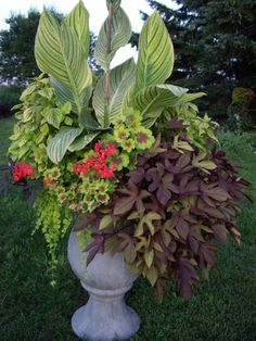 Canna, Ivy-leaf Geraniums, Deep purple sweet potato vine, Creeping Jenny, coleus and more!
