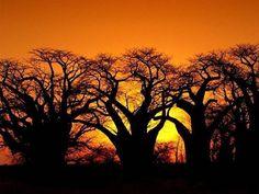 Baoba_arvore_africana022