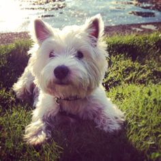 Running for Mayor - part 2.  #astridh #westie #berlin #huntingwithwictor