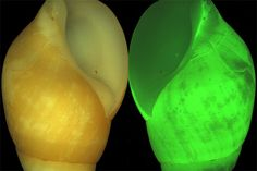 """""""The marine snail Hinea brasiliana produces bright green flashes of light as an alarm when other creatures rub past its shell. Also known as the clusterwink snail. Researchers at the Australian Museum in Sydney theorize that this light response may allow the animals to communicate while remaining safe inside their hard shells."""" Photo by D. D. Deheyn, via Live Science."""