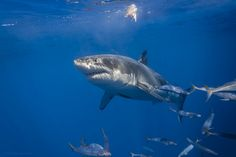 Great white shark at the surface | Flickr - Photo Sharing!