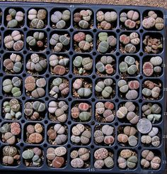 24 MIXED LITHOPS Living Stones pebble plant ... this would make an interesting quilt