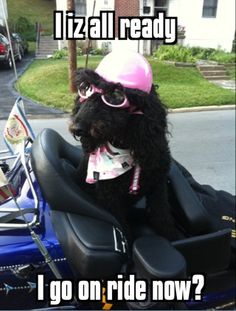 She is my neighbor's dog. She knows she doesn't ride without gearing up.