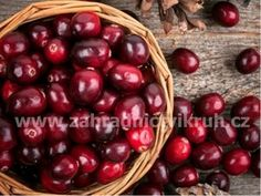 Brusinka PILGRIM - vaccinium macrocarpon Pilgrim, Cherry, Fruit, Food, Pilgrims, Essen, Meals, Prunus, Yemek
