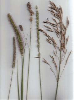 Grasses, left to right: Timothy hay, Foxtail grass, Orchard grass, Quack grass, and Brome grass. Country Life - Discussion Forum
