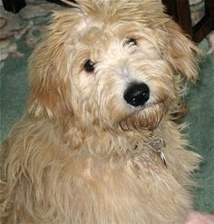 Otis the Mini Goldendoodle at 5 months old (Golden Retriever mother / Miniature Apricot Poodle father)