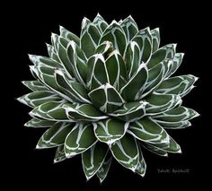 CactiGuide.com • View topic - Succulent of the Month (Aug. 2007 ...