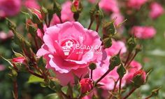 Размножение роз черенками летом: заготовка и укоренение черенков