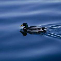 Duck,Mallard