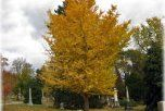 Ginkgo Uses Through The Years