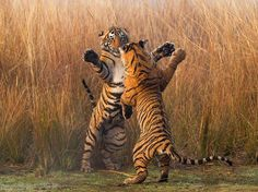 "Bengal tigers spar playfully in Rajasthan, India. ""I came across this tiger family one chilly, foggy January morning as they finished feasting on a sambar deer kill,"" writes Your Shot member Souvik Kundu. ""In an energetic and playful mood, the cubs engaged in several bouts of jostling under the watchful eye of the mother."""