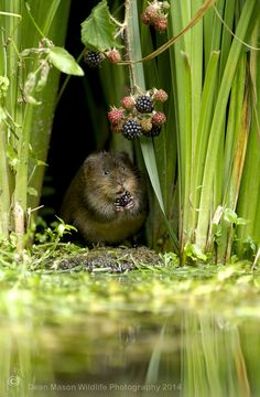Photo The fruit picker ! by Dean Mason on Curious Creatures, Cute Creatures, Hamsters, Animals Beautiful, Cute Animals, Cute Mouse, Lily Pond, Cute Animal Pictures, Nature Images