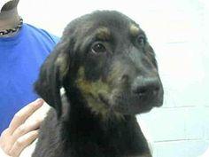 Atlanta, GA - German Shepherd Dog/Labrador Retriever Mix. Meet SAMMY, a puppy for adoption. http://www.adoptapet.com/pet/12670539-atlanta-georgia-german-shepherd-dog-mix