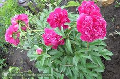 If peony flowers are left unsupported, they will fall over. Learn about peony supports, how to keep peonies from drooping, and other peony care tips. Beautiful Flowers, Peony Flower, Flowers, Ground Cover Plants, Peony Support, Pink Peonies, Perennials, Plants, Peony Care