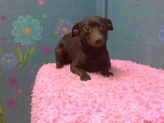 This DOG - ID#A4647281  I am described as a male, chocolate Chihuahua - Smooth Coated mix  The shelter thinks I am about 1 year and 1 month old.  I have been at the shelter since Oct 28, 2013.       For more information about this animal, call: Los Angeles County Animal Control - Lancaster at (661) 940-4191 Ask for information about animal ID number A4647281