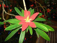 Euphorbia punicea