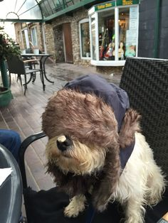 Georgie the westie from Barking Mad Bandanas is hidding under her mummy's trapper's hat but cannot hide from her cappuccino inspired nose