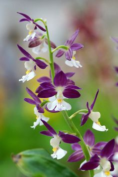 HAVE A NICE DAY — prettylittleflower: えびね /Calanthe-6 by...