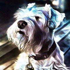 #whiteschnauzer #drake #luxschnauzers #schnauzersofinstagram #puppyforsale