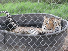 A tiger taking a swim at Carolina Tiger Rescue.