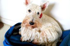 Outro close da minha princesa descansando na mochila - another closeup of my princess resting in the backpack #yuki #yukituristainsolita #dog #scottishterrier #wheatscottie #cachorro  #cachorroetudodebom #pet #pets #petsofinstagram #petsgram #instapuppy #cute #instacute #instapet #puppylove #puppygram #scotties #terrier #scottishterriersofinstagram #puppiesofinstagram #scottielove #scottielove #scottish_terrier #scottielovers #scottieobsessed #scottiegram