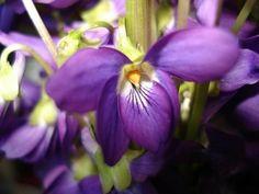 Las violetas, alfombra de color
