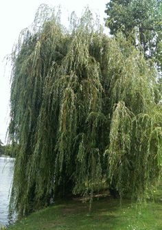 Weeping willow - How to grow beatiful Weeping willow plant, growing Weeping willow tree in your garden Weeping Willow, Willow Tree, Outdoor Trees, Outdoor Gardens, Beautiful Flowers Garden, Beautiful Gardens, Arbour Day, Shade Trees, Garden Care