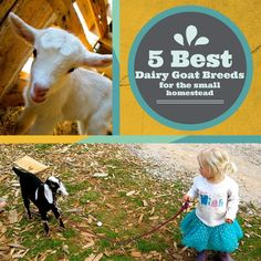 Are you in the market for a goat? Here are the best dairy goat breeds for the small farm. Find the perfect fit for you and your homestead