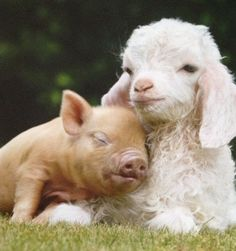 Unlikely friends. Cute Baby Animals, Animals And Pets, Funny Animals, Cute Animal Humor, Wild Animals, Unlikely Animal Friends, Baby Goats, Tier Fotos, Cute Animal Pictures