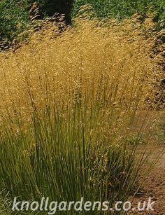 Stipa Goldilocks   Knoll Gardens   Ornamental Grasses and Flowering Perennials