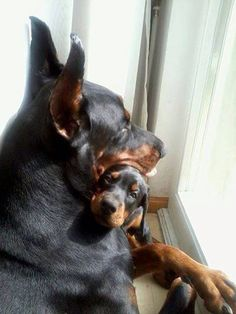 #Dobermans. Love you Momma