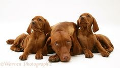 Hungarian Vizsla bitch with two pups