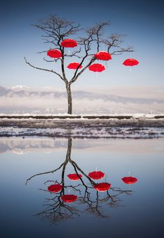 Rainblossom Project. Red umbrellas suspended on trees at Spanish Banks: Vancouver's latest public art
