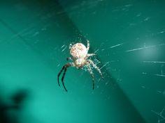 The Arachne
